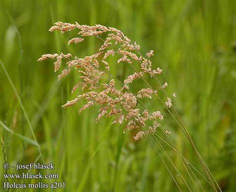 Soft Grass creeping soft grass meddic