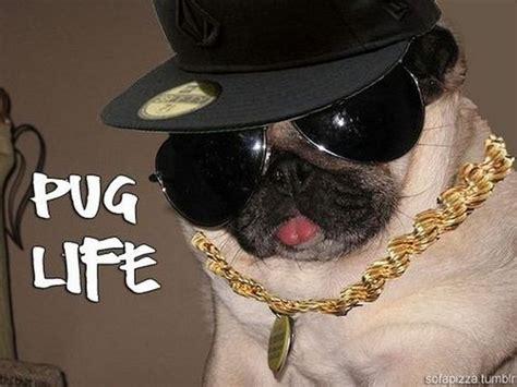 pug thug cool pug thugs barnorama