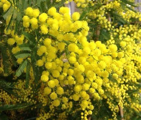 fiore delle donne perch 232 regalare la mimosa storie e leggende
