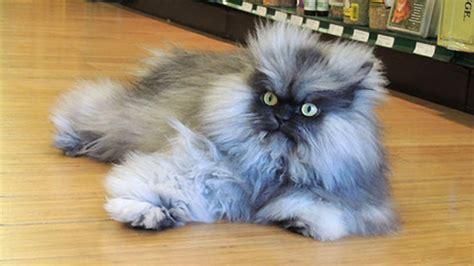 Manja World Dosen Kucing 7 selebriti kucing yang wajib anda ketahui 3 paling