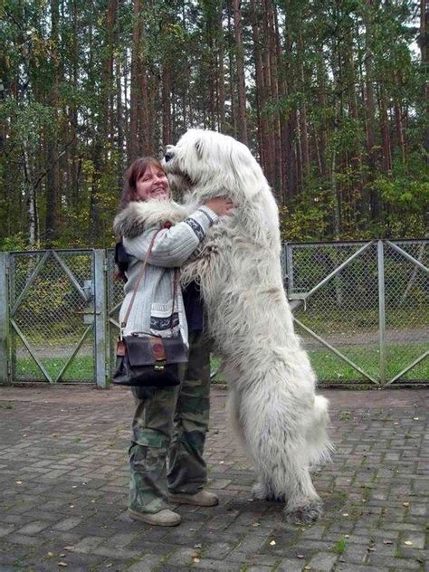 big dogs big hearts dogs with gentle hearts animals