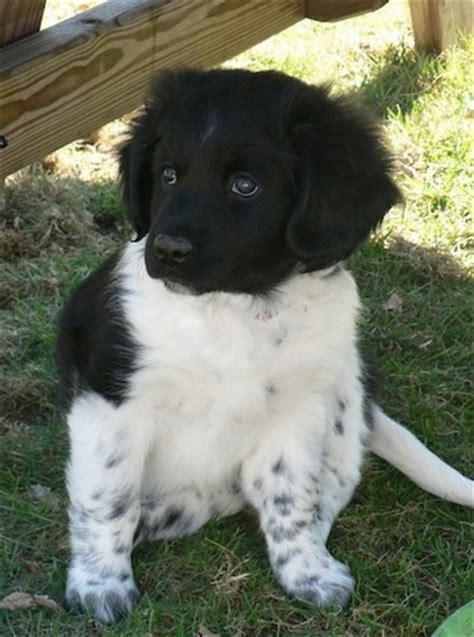stabyhoun puppies 191 que razas estos perritos es que me encantan yahoo respuestas