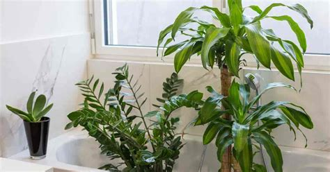 bathroom plants no light 17 best bathroom plants how to use how to choose no