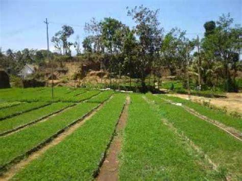 Bibit Sengon Kediri jual bibit pohon sengon di kendari sulawesi tenggara