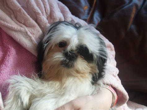shih tzu 6 months shih tzu puppy 6 months workington cumbria pets4homes