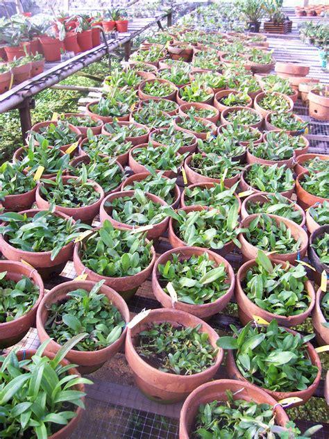 Jual Bibit Anggrek Cymbidium pertimbangan untuk menanam kompot anggrek lc nursery
