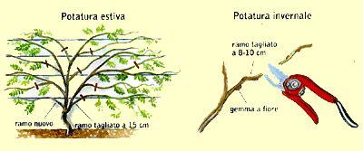 perchè il glicine non fiorisce e adesso potiamo il glicine