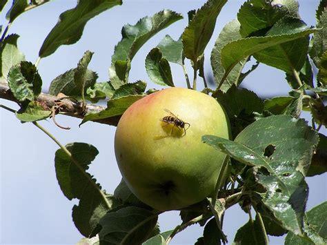 apple bee apple bee photograph by gene ritchhart