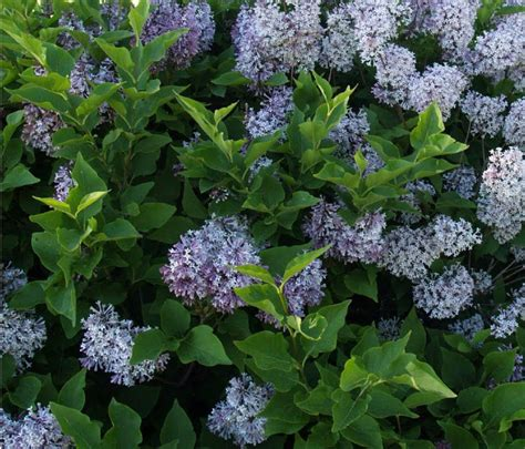 top flowering shrubs flowering shrubs5 1024x877 jpg