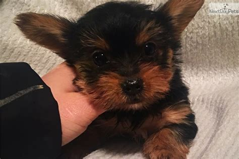 teacup yorkie for sale in baltimore md teacup yorkie black brown terrier for sale in baltimore md