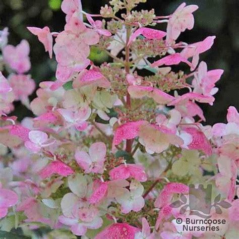 Hydrangea Paniculata Wims 5299 by Hydrangea Paniculata Wim S From Burncoose Nurseries