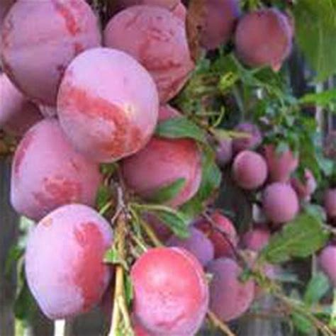 onlineplantcenter 5 gal 5 ft burbank plum fruit tree