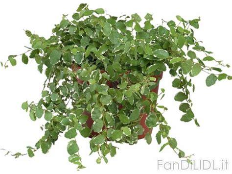 offerte fiori piante ricanti fiori fan di lidl