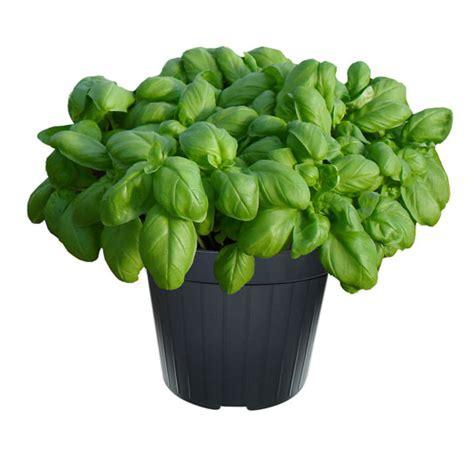 basilico vaso basilico vaso 14 floricoltura magnani di magnani gianpaolo