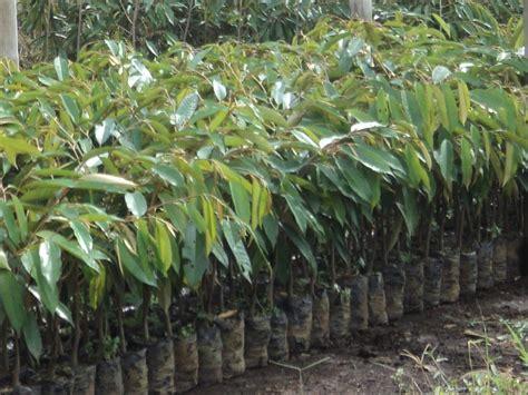 Jual Bibit Bebek Cirebon jual bibit durian di cirebon 1 jual bibit tanaman