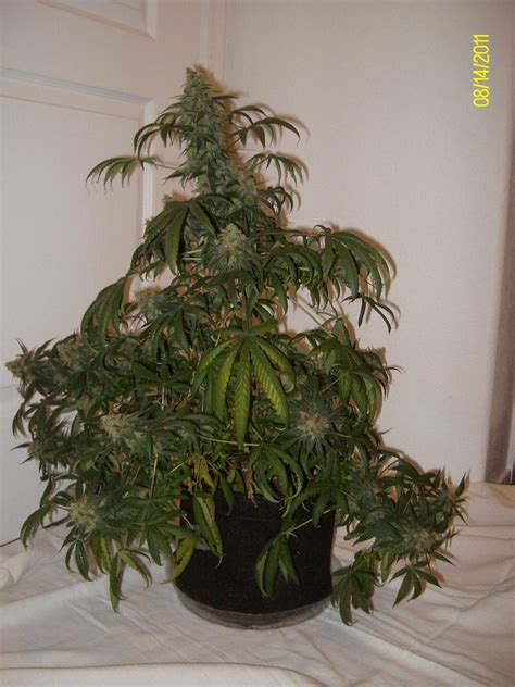 gallon smart pots  flower page  grasscity forums