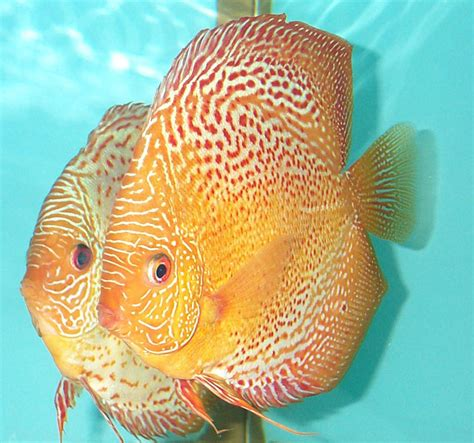 choice discus