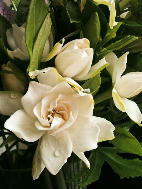 gardenias flower tips for fertilizing gardenia plants