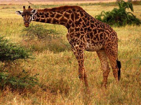 imagenes animales jirafa wallpaper jirafa imagui