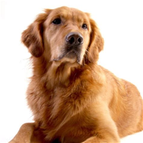 golden retriever savvy most popular breeds