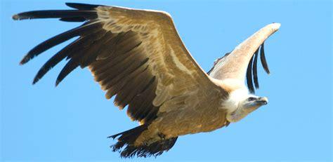imagenes animales aves imagenes de aguilas aves imagui