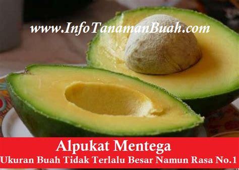 Jual Bibit Buah Ungaran jual bibit alpukat mentega info tanaman buah