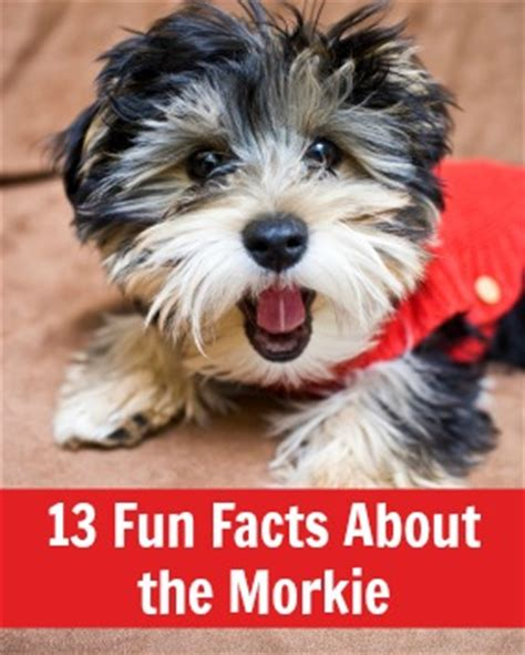 what is a morkie facts about the morkie babble