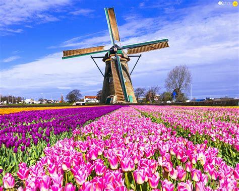 netherlands tulip fields tulips netherlands field windmill puzzle jigsaw
