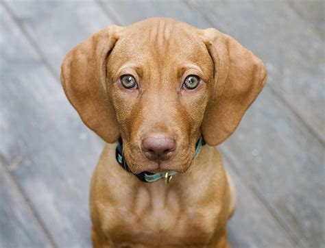vizla puppy 22 best images about vizsla on beautiful dogs bloodhound puppies and