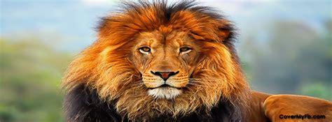 lion facebook covers lion fb covers lion facebook timeline covers lion facebook cover images