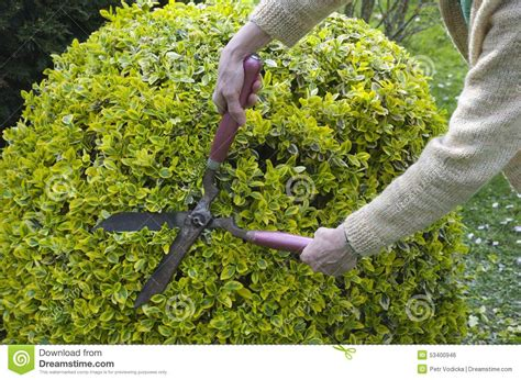 bush trimming women trimming bushes with garden scissors stock photo image