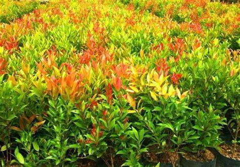 Bibit Tanaman Pucuk Merah 12 cara menanam pucuk merah cara memperbanyak pucuk merah
