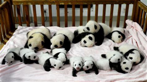 Free Hugs Panda get paid to hang out and hug and play with pandas