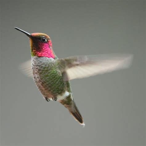 seeing more hummingbirds in winter lately nw news network