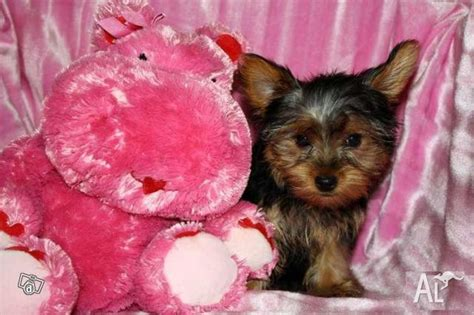 adorable teacup yorkie puppies for adoption teacup yorkie puppies for adoption for sale in barton australian capital