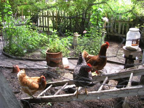 The Backyard Chicken The Benefits Of Backyard Chickens