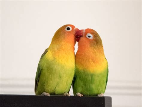 two beautiful lovebirds for sale london south east