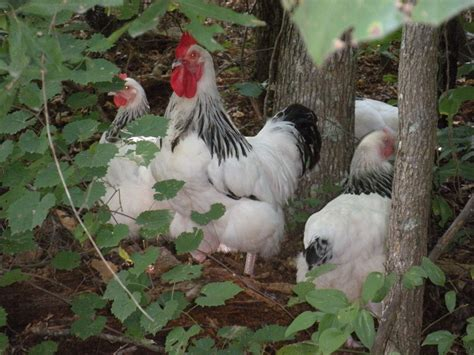 coke creek farm glen ms backyard chickens community