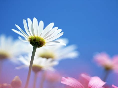 bright white flower wallpapers hd wallpapers id