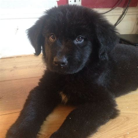 newfie puppies for sale newfoundland puppies for sale in the uk breeds picture