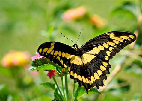 giant swallowtail papilio cresphontes giant