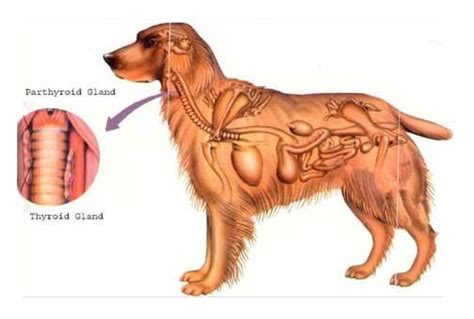 gland problems in dogs leerburg your and the thyroid gland