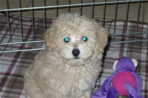 yorkie rescue tucson az view ad yorkie poo puppy for sale arizona tucson