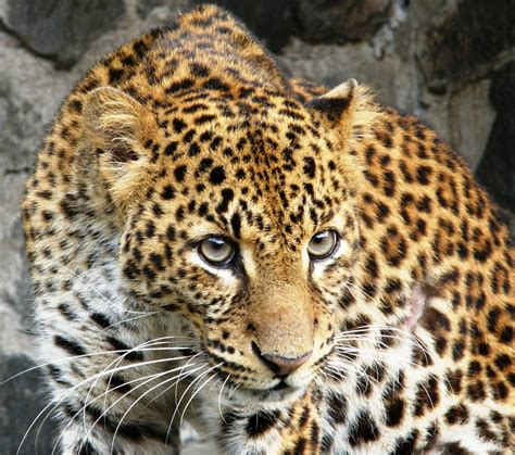 the leopard javan leopard the life of animals
