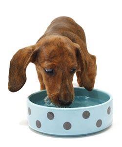 goldendoodle puppy drinks a lot of water dieta barf bogot 225 comida barf barftender