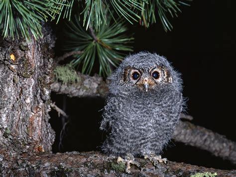 crisis cute baby owl