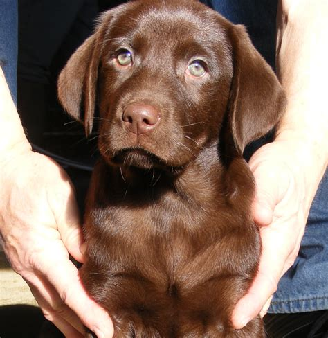 chocolate lab puppies for sale in wisconsin wisconsin labradors labrador retriever chocolate lab puppies