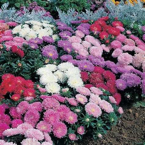 aster color aster colour carpet mixed 15benih purie garden