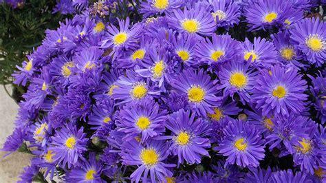 Gamis Purple Flower 1 fondos de pantalla 1920x1080 asters en gran plano violeta color flores descargar imagenes