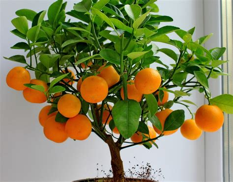 fruit tree seeds 10 edible fruit orange tree seeds bonsai citrus orange